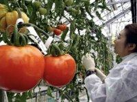 Genom düzenlemesi uygulanmış domateslerin Japonya'da satışa sunulacağı bildirildi.