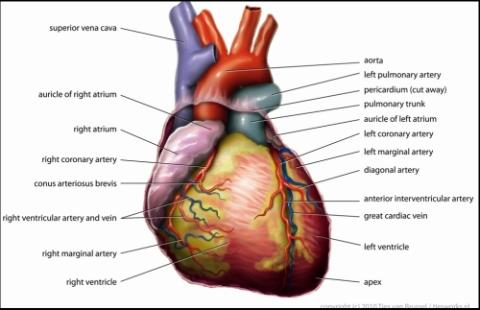 anatomy_heart-wiki.jpg