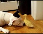 Köpek İle Küçük Ördek