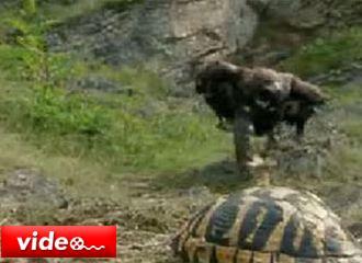 Kartalın kamlumbağa avı